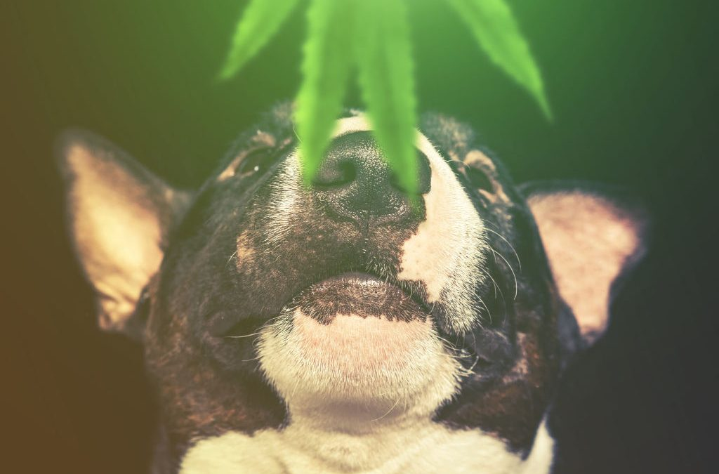 Cannabis Products For Dogs